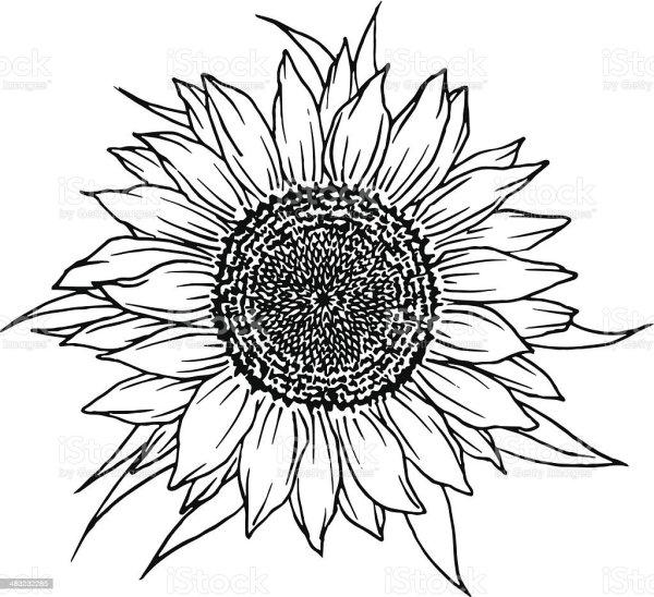 sunflower stock illustration