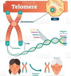 telomere vector illustration educational and medical scheme with cell chromosome and dna labeled [ 836 x 1024 Pixel ]