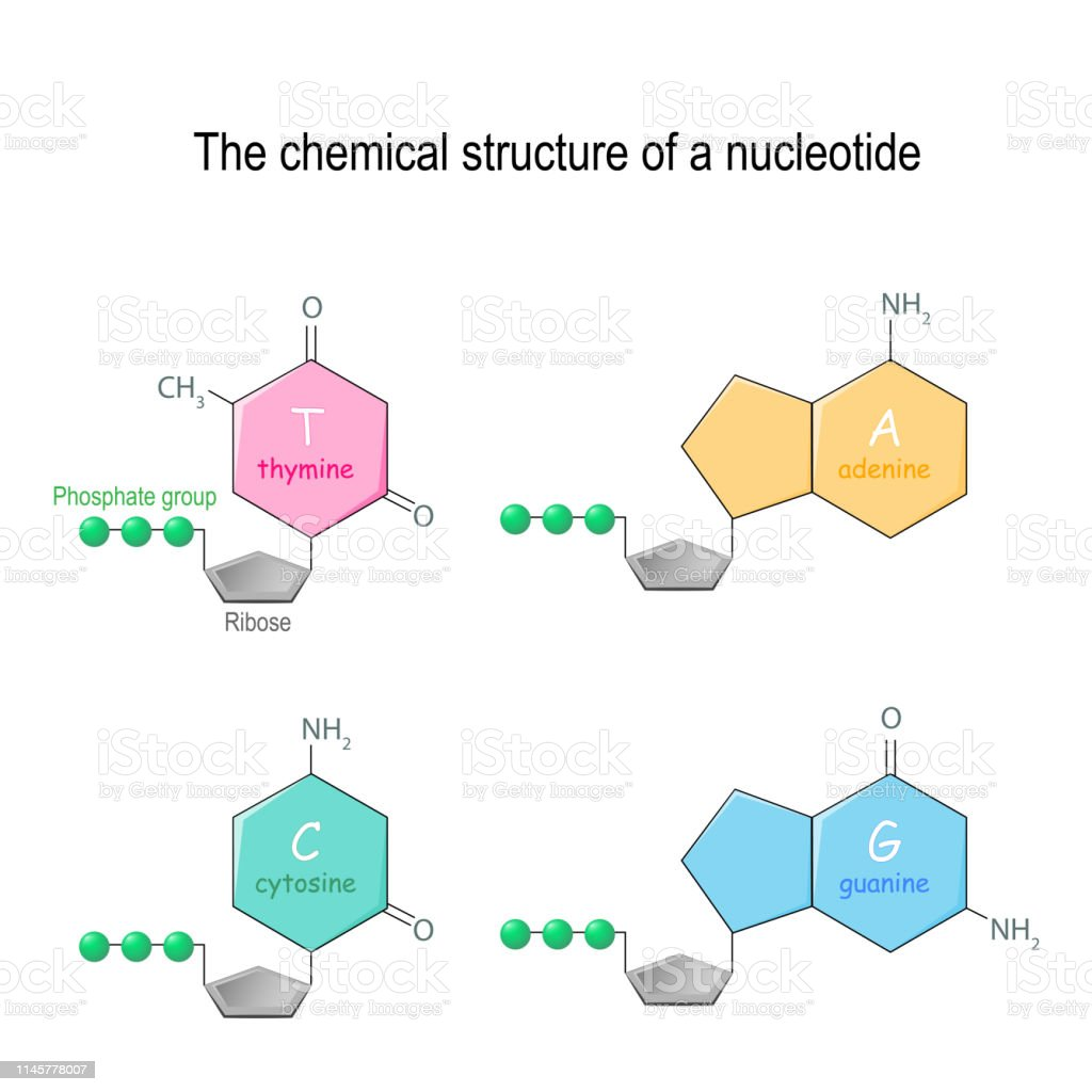 hight resolution of the chemical structure of a nucleotide four main bases found in dna adenine cytosine guanine and thymine phosphate group and ribose illustration
