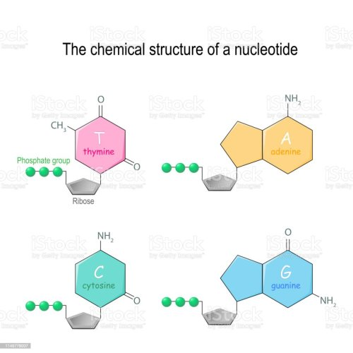 small resolution of the chemical structure of a nucleotide four main bases found in dna adenine cytosine guanine and thymine phosphate group and ribose illustration
