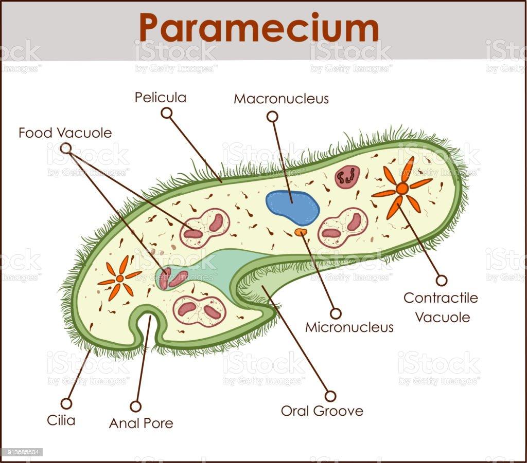 hight resolution of the structure of paramecium saudatum royalty free the structure of paramecium saudatum stock vector art