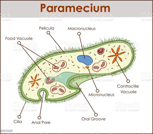 small resolution of the structure of paramecium saudatum royalty free the structure of paramecium saudatum stock vector art