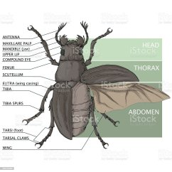 House Fly Anatomy Diagram Circuit And Wiring Diagrams Definition List Of Synonyms Antonyms The Word Insect Eye