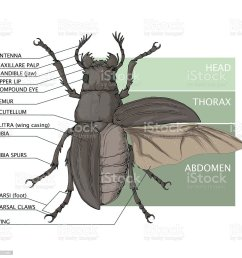 the structure of the beetle vector diagram stock illustration beetle diagram related keywords suggestions beetle diagram long [ 1024 x 1024 Pixel ]