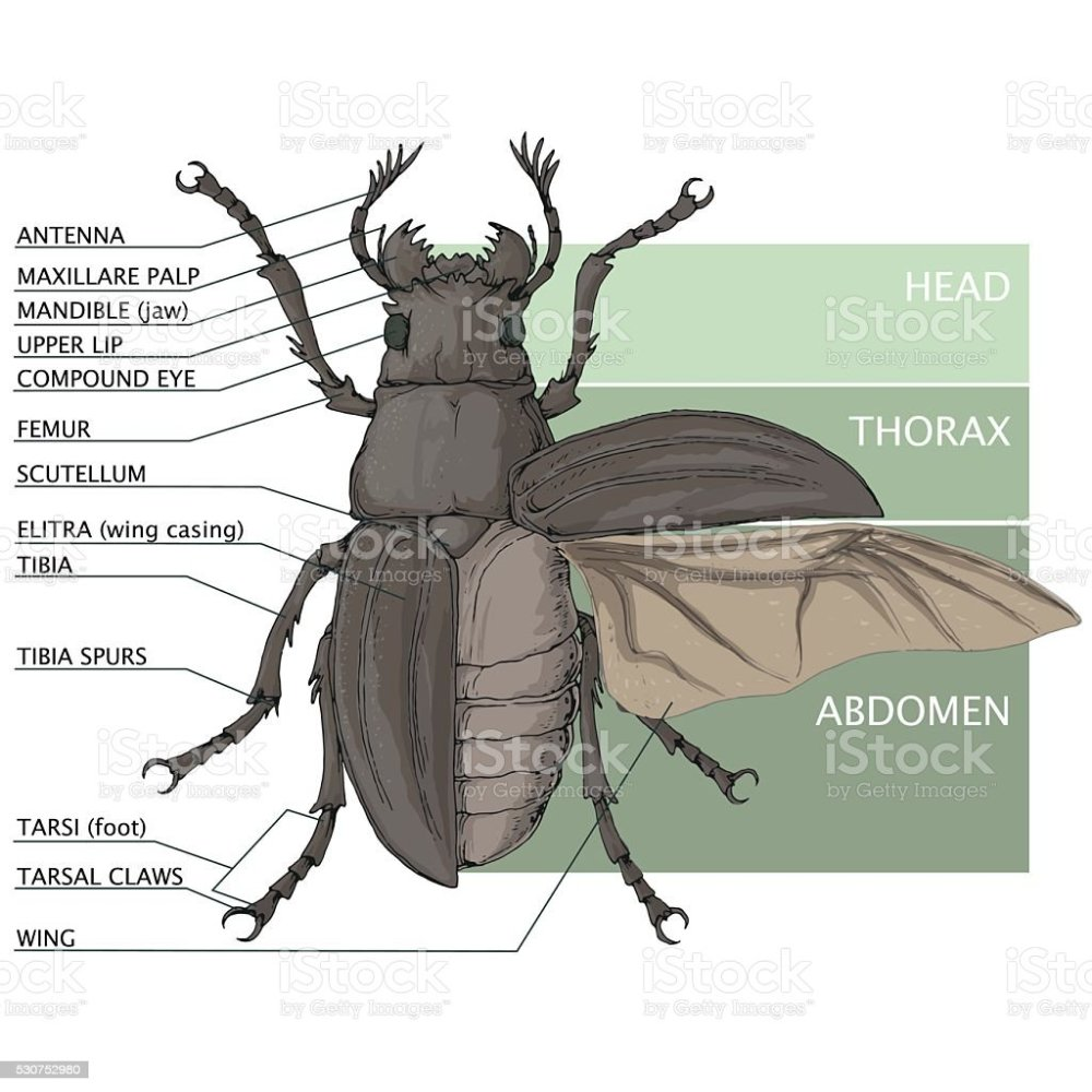 medium resolution of the structure of the beetle vector diagram stock illustration beetle diagram related keywords suggestions beetle diagram long