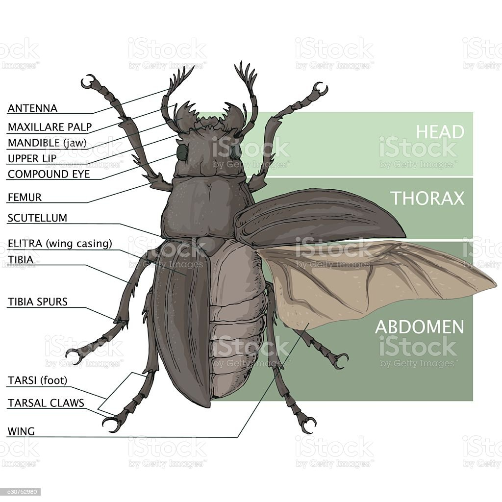hight resolution of the structure of the beetle vector diagram stock illustration beetle diagram related keywords suggestions beetle diagram long