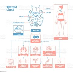 Endocrine System Diagram Basic Plant Cell With Labels Thyroid Gland Of Medical Science Vector Illustration