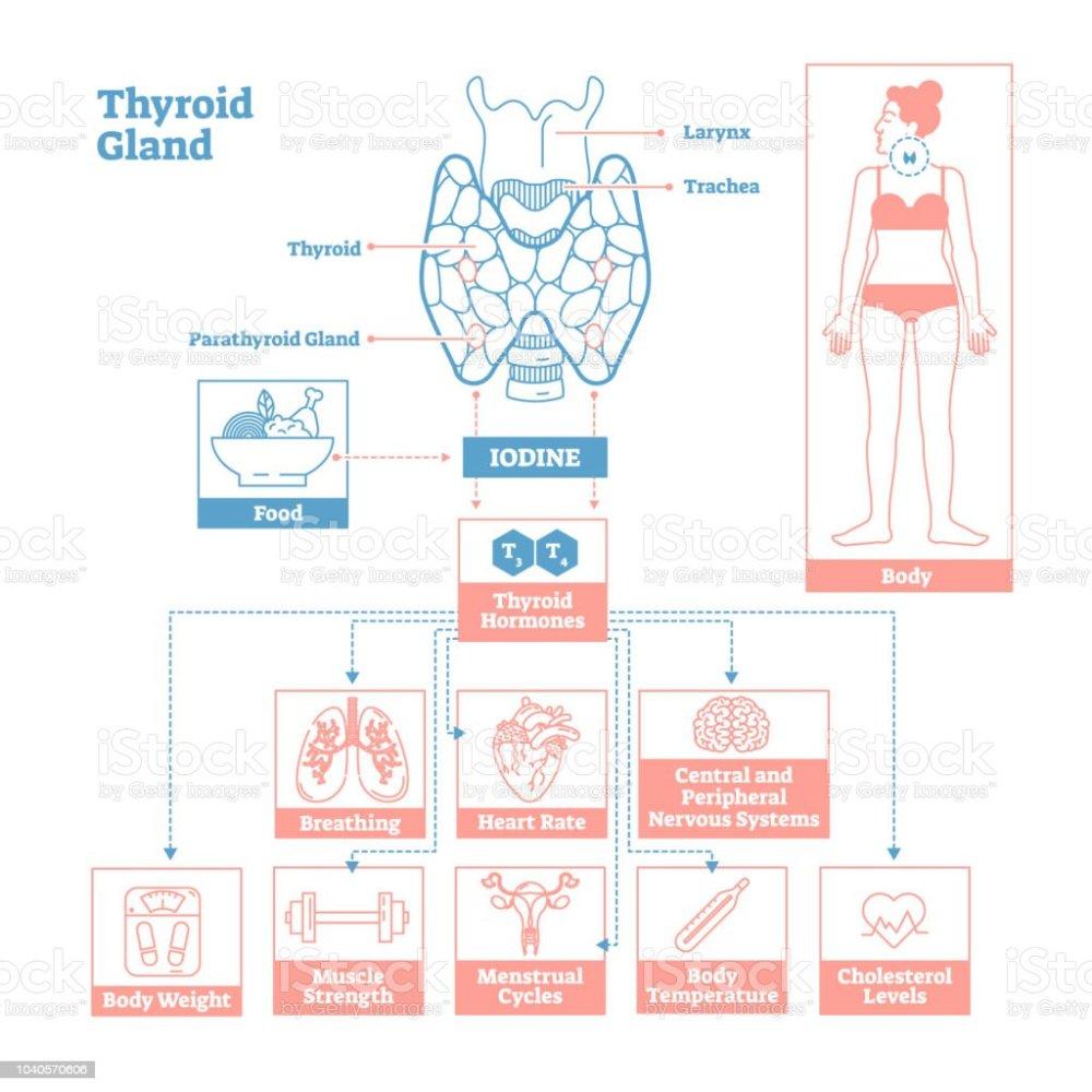 medium resolution of thyroid gland of endocrine system medical science vector illustration diagram royalty free thyroid