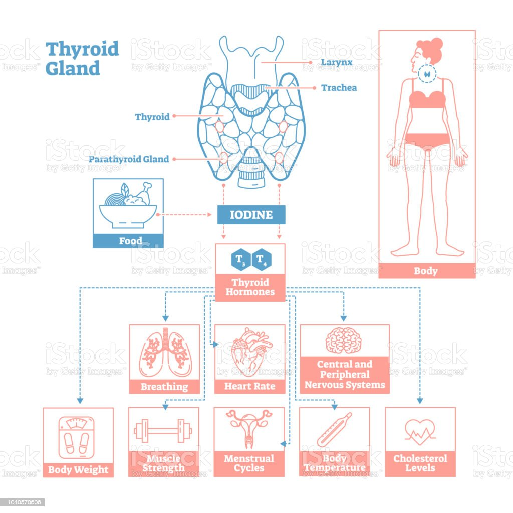 hight resolution of thyroid gland of endocrine system medical science vector illustration diagram royalty free thyroid