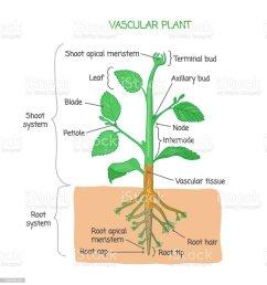 vascular plant biological structure labeled diagram vector illustration royalty free vascular plant biological structure [ 953 x 1024 Pixel ]