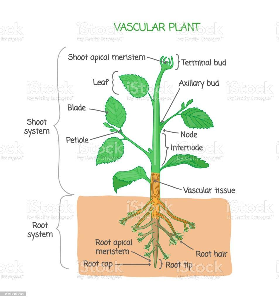 hight resolution of vascular plant biological structure labeled diagram vector illustration royalty free vascular plant biological structure