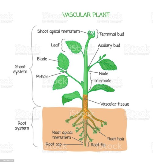 small resolution of vascular plant biological structure labeled diagram vector illustration royalty free vascular plant biological structure