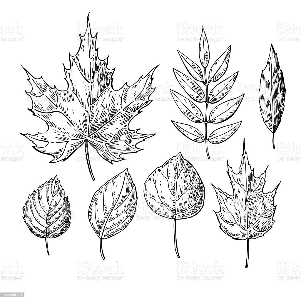 Vector Autumn Drawing Leaves Set Isolated Objects Hand