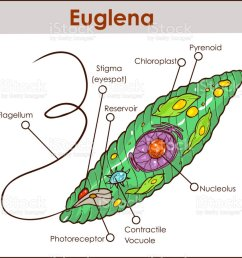 vector euglena cross section diagram representative protists euglenoid plant like and animal like microscopic creature with [ 1024 x 901 Pixel ]