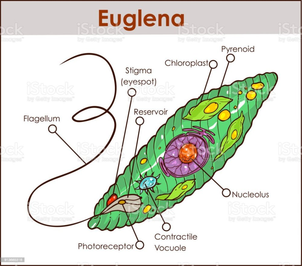 medium resolution of vector euglena cross section diagram representative protists euglenoid plant like and animal like microscopic creature with