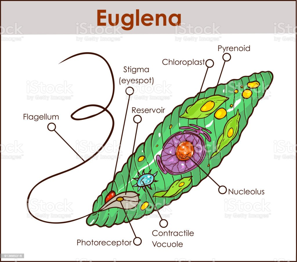 hight resolution of vector euglena cross section diagram representative protists euglenoid plant like and animal like microscopic creature with