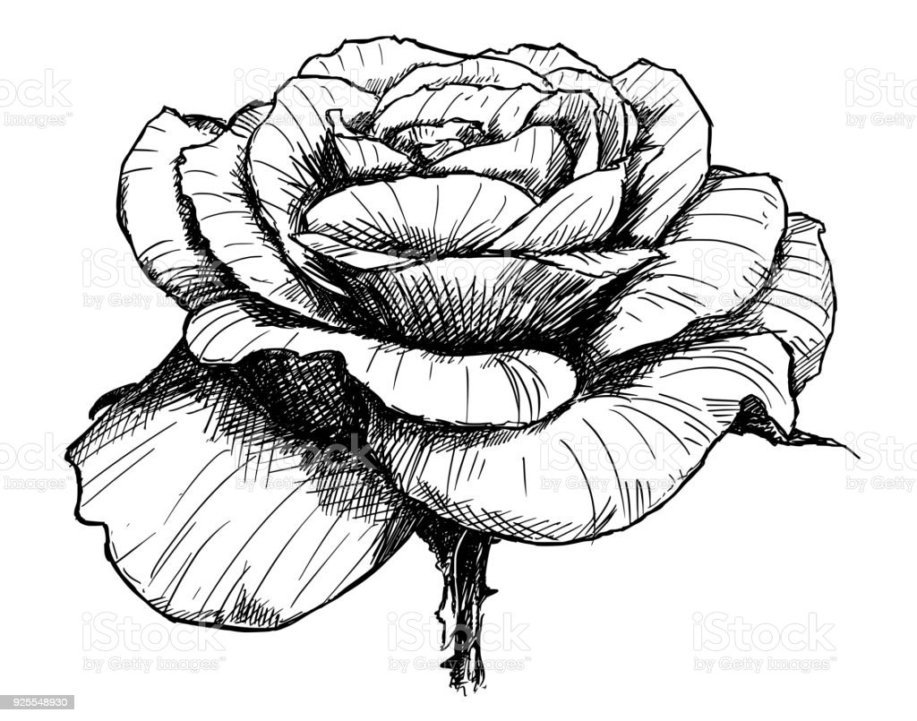 Vector Hand Drawing Of Rose Flower In Bloom Stock