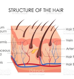vector illustration of human hair diagram piece of human skin and all structure of hair [ 1024 x 788 Pixel ]