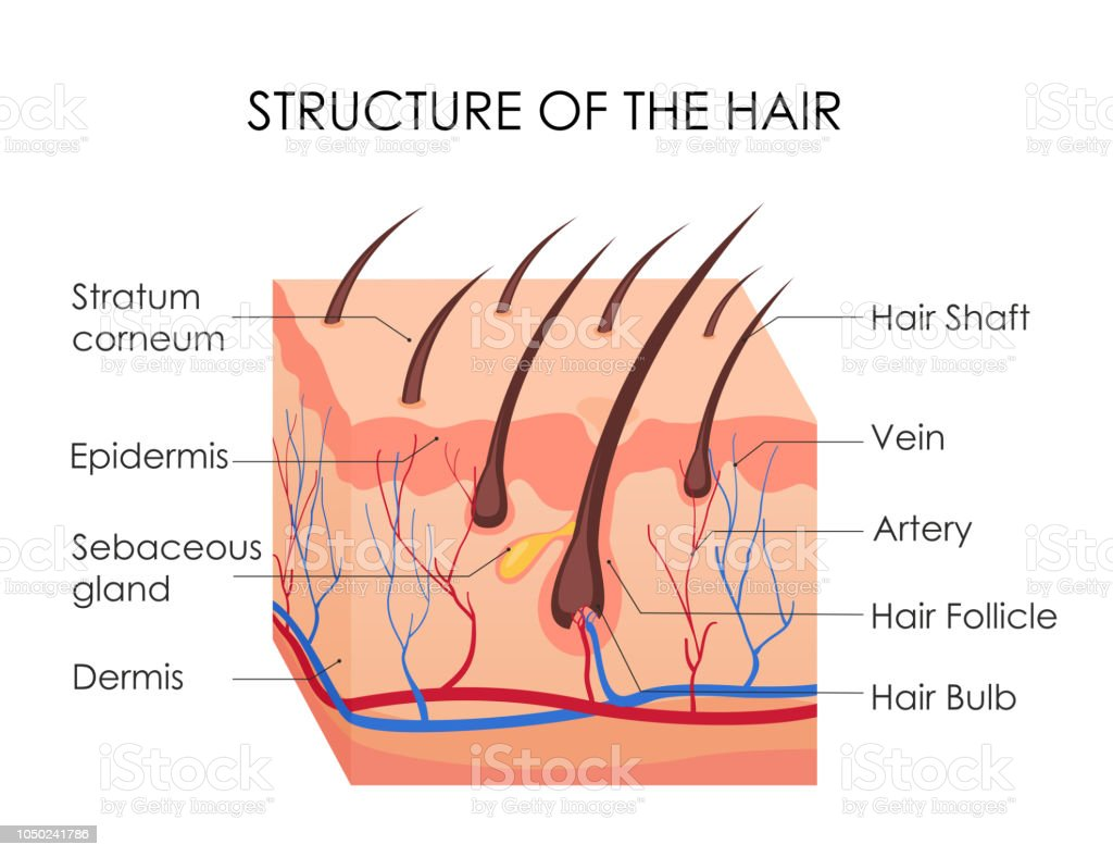 hight resolution of vector illustration of human hair diagram piece of human skin and all structure of hair