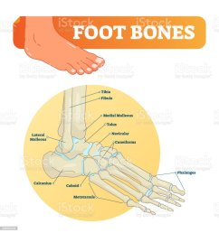 vector illustration with foot bones medical diagram with tibia fibula malleous talus [ 972 x 1024 Pixel ]