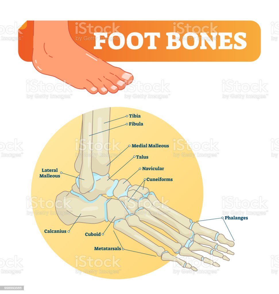 medium resolution of vector illustration with foot bones medical diagram with tibia fibula malleous talus