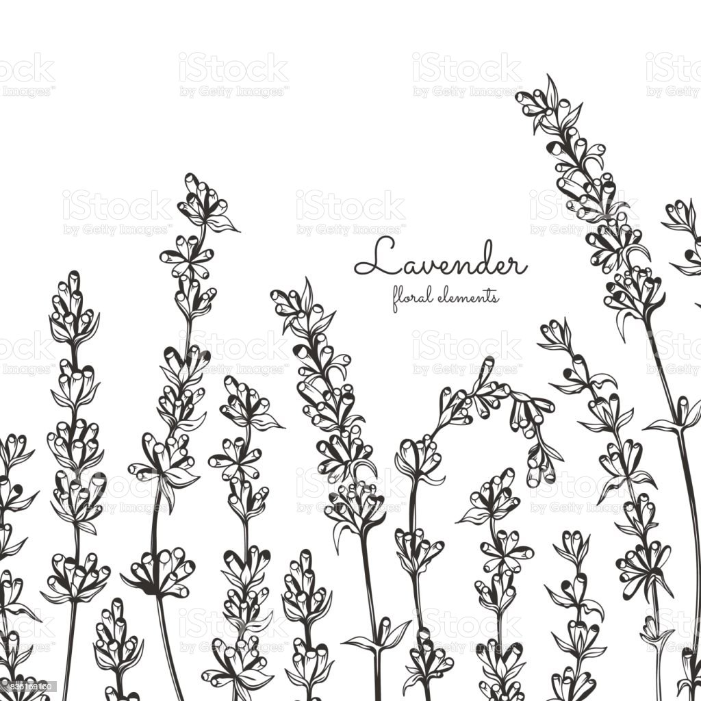 Vector Lavender Hand Drawn Illustrationhealing And
