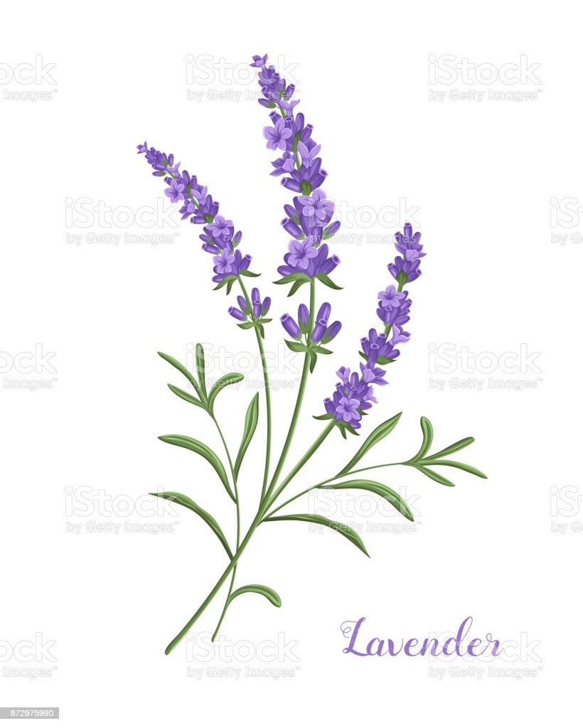 Top 60 French Lavender Clip Art Vector Graphics and