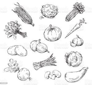 drawing vegetables vector parsnip clip line illustrations garden sketch various drawings vectors