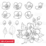 Vector Set With Jasmine Flowers Bud And Leaves Isolated On White Background Stock Illustration Download Image Now Istock