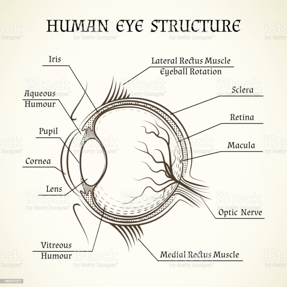 medium resolution of vector structure of the human eye royalty free vector structure of the human eye stock