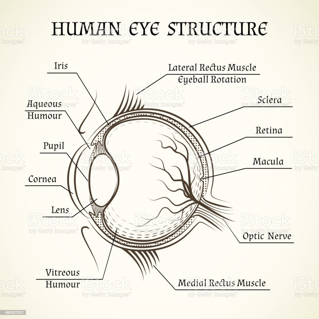 hight resolution of vector structure of the human eye royalty free vector structure of the human eye stock