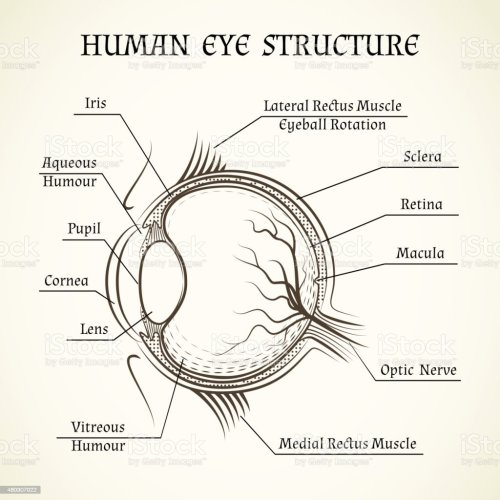 small resolution of vector structure of the human eye royalty free vector structure of the human eye stock