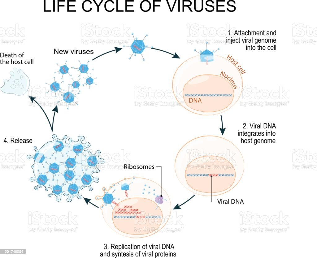 hight resolution of virus replication cycle royalty free virus replication cycle stock vector art amp more images