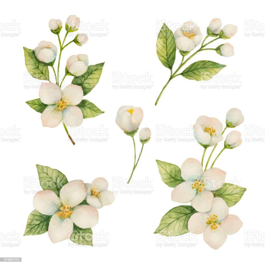 best jasmine flower illustrations