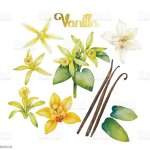 Watercolor Vanilla Flower Stock Illustration Download Image Now Istock