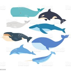 484 Beluga Whale Illustrations Royalty Free Vector Graphics & Clip Art iStock