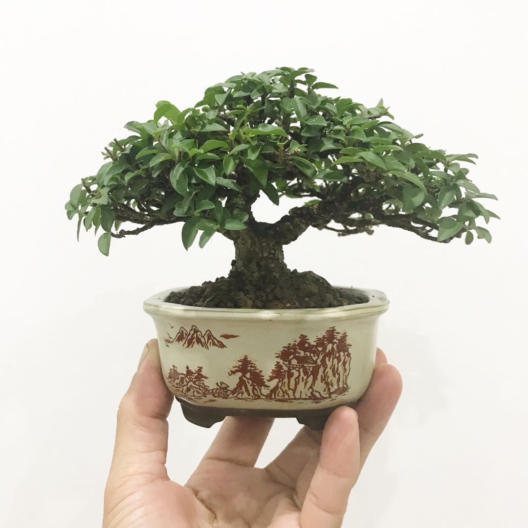 Sara elliott bonsai is the ancient art of discovering and honoring nature by rendering. Mini And Shohin Bonsai Sale Furniture Home Living Gardening Plants Seeds On Carousell