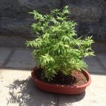 Mini Bamboo Bonsai Gardening Plants On Carousell