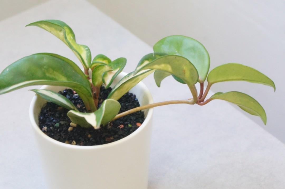 耐陰) 斑葉毬蘭 連盆 Variegated Hoya Carnosa Variegate Tricolor 開花植物 室內室外 indoor plants plant 盆栽 (Porcelainflower/Wax ...