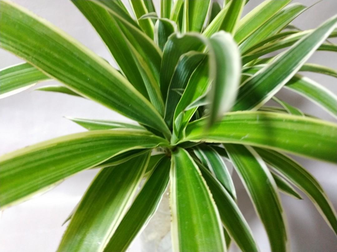 金邊吊蘭 根系之美 最佳室內/水養植物之一 萌系開花植物 淨化空氣植物 Spider plant Flowering plant Purifier Indoor Plant ...