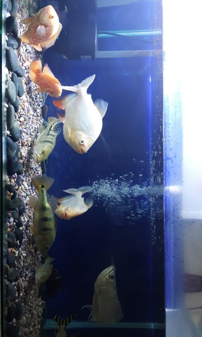 Harga Ikan Oscar : harga, oscar, Albino,, Oscar, Tiger,, Perlengkapan, Hewan,, Aksesoris, Hewan, Carousell