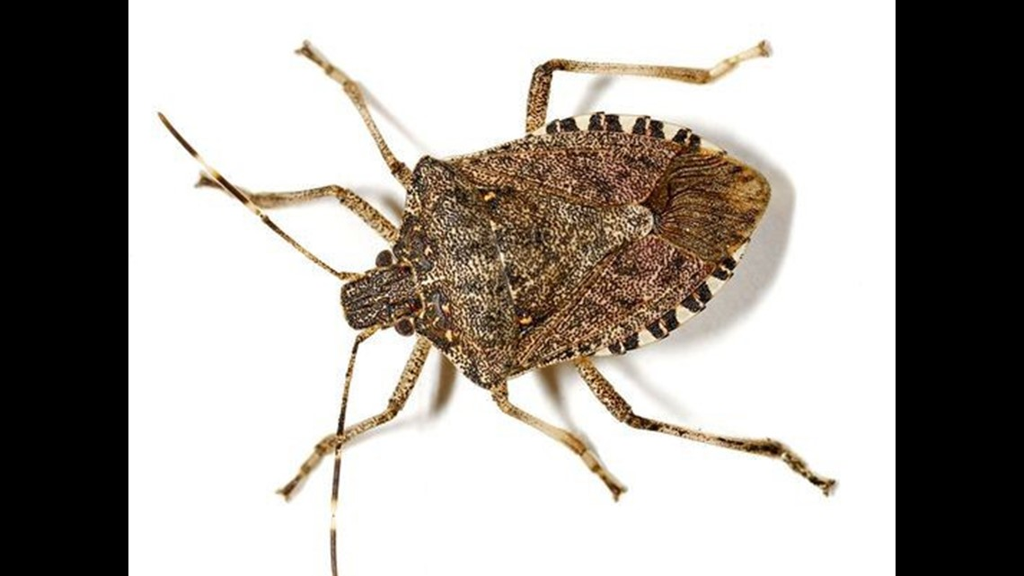 Keeping Stink Bugs Out of Your House   ktvb.com