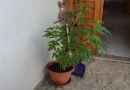 pianta marijuana1