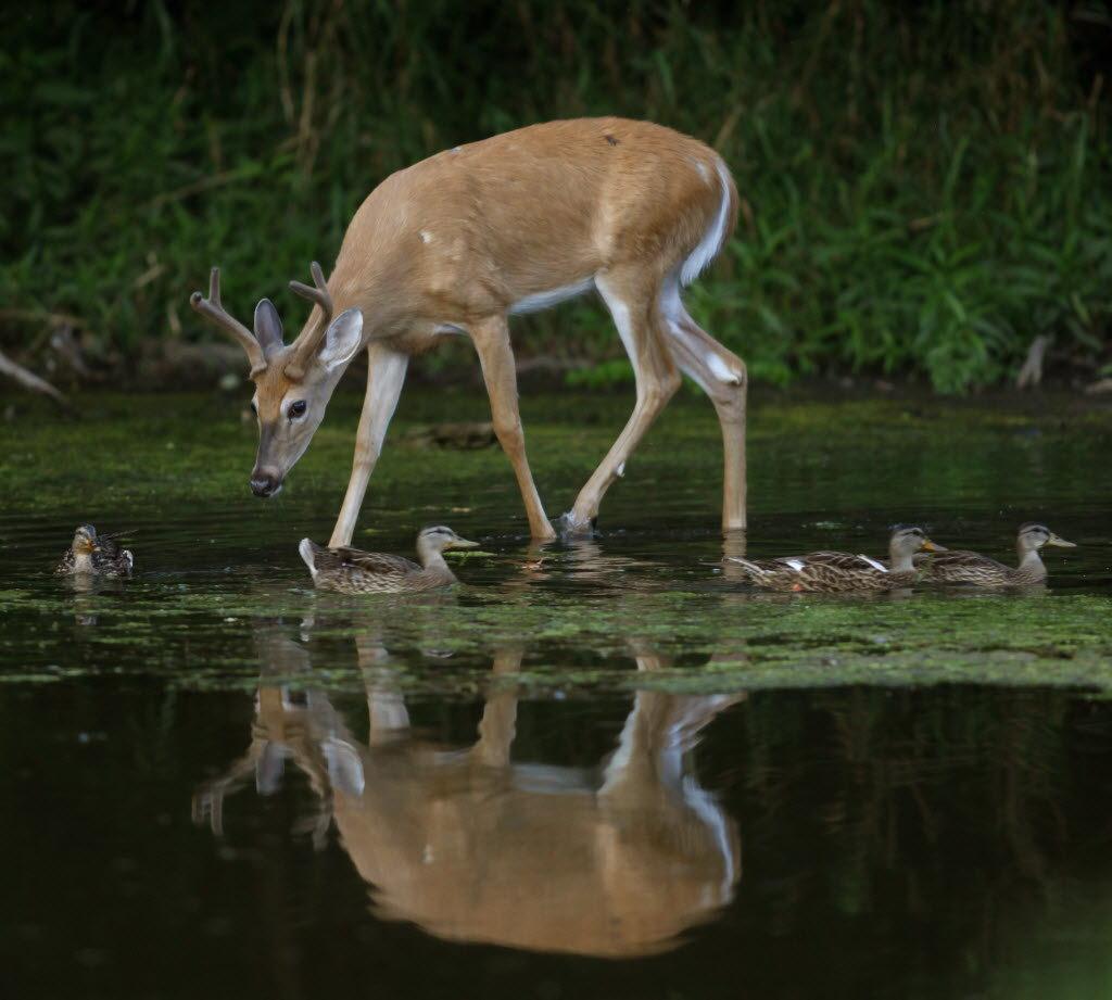 Deer disease spread by biting flies confirmed in