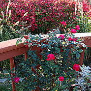 Star Roses and Plants Double Knock Out®