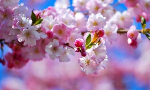 körsbärsträden blommor