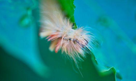 lönnaftonfly fjäril