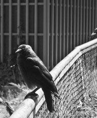 Kråka i Slottsskogen