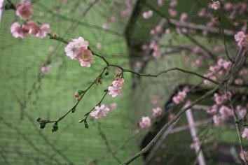 körsbärsblomma IMG_5063