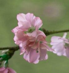 körsbärsblomma IMG_5064